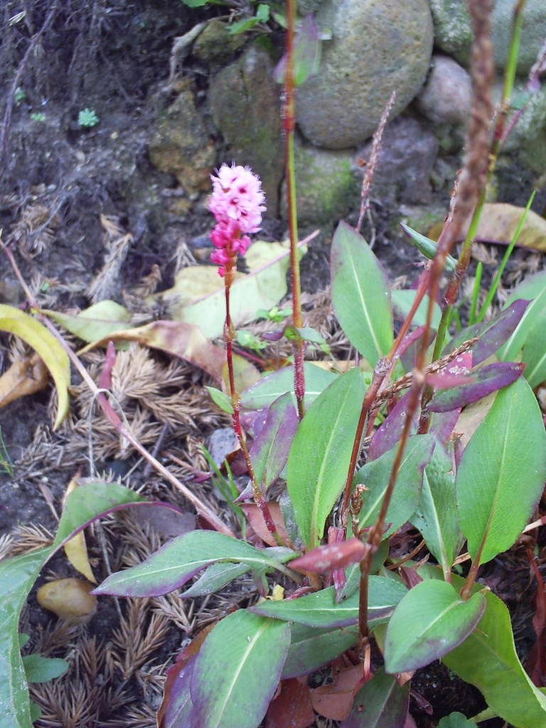 Pozostałe, Jesień w moim ogrodzie/tarasie - Rdest pokrewny- rewelacyjna i wytrzymała roślinka - silnie rozrastająca się bez większych wymagań glebowych :)