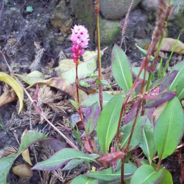 Rdest pokrewny- rewelacyjna i wytrzymała roślinka - silnie rozrastająca się bez większych wymagań glebowych :)