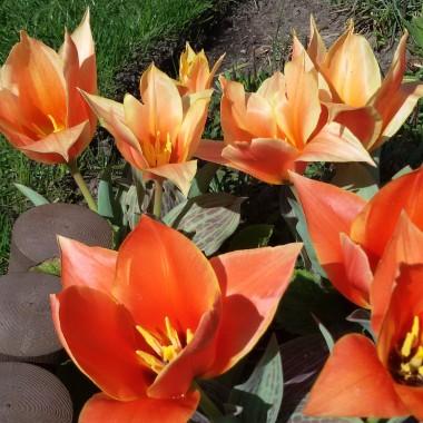 Majowe tulipany....:)