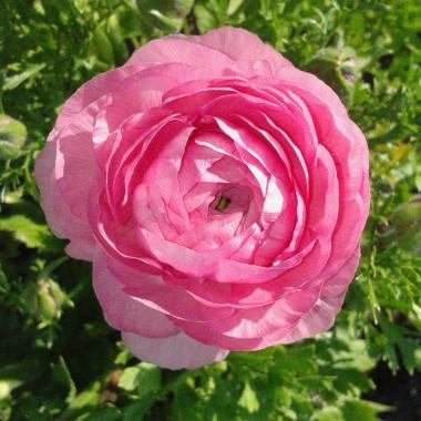 """Mułlen róż"""