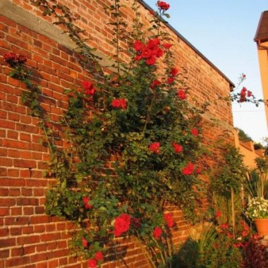 róża pnąca w całej okazałości (jesień)