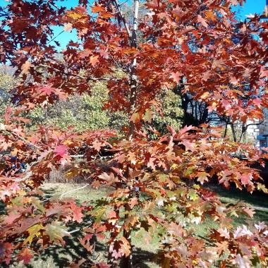 .............i dąb............w kolorowe liście wystrojony............