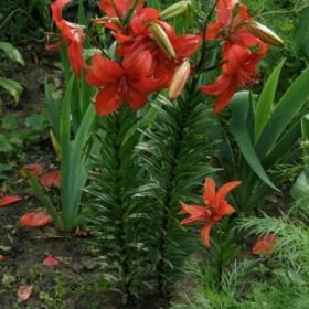 Lilie w ogrodzie