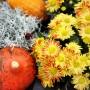 Rośliny, Jesienne kwiaty na balkon - Chryzantemy  Wybierając chryzantemy na balkon warto sięgnąć po jej mniejsze odmiany, z drobnymi kwiatami i tworzyć z nich piękne kompozycje kwiatowe w doniczkach. Ale i cudowne, najbardziej popularne chryzantemy kule można sadzić w doniczce na balkonie. Ważne, by kwiatom zapewnić odpowiednie warunki.  Fot.123RF.com