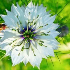 Apteka w ogrodzie: czarnuszka dobra na wszystko