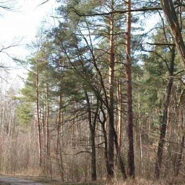 """"""" Był las, nie było jeszcze nas... Słońce uczynnie mu służyło... Mijały wieki, mijał czas. A nas w tym lesie jeszcze nie było. Wzrastały dęby, brzozy i inne drzewa... Aż nastał wreszcie czas, zupełnie nasz... Teraz las szumi dla nas i ptasim trelem śpiewa...""""fragment wiersza  Las obok nasautorOskar Wizard"""