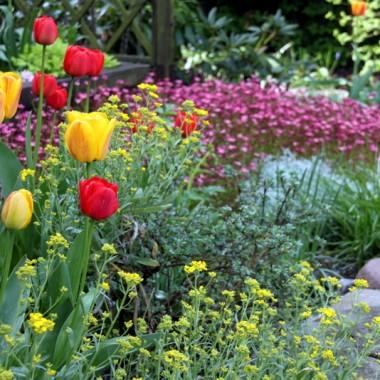 Niezapominajkowo-tulipanowa galeria wiosenna....