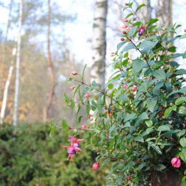 Fuksje jak na koniec listopada w świetnej kondycji :) -zostawiłam jedną ogromną wiszącą donicę w ogrodzie ,ciekawa co z niej zostanie do wiosny
