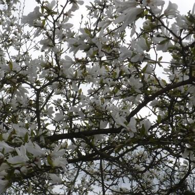.................i magnolia...............w pełni kwitnienia................
