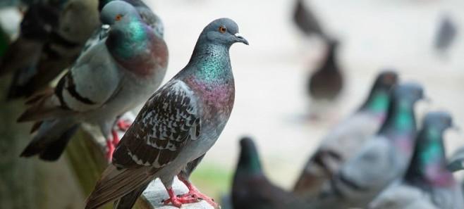Dwa niezawodne sposoby na pozbycie się gołębi