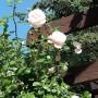 Rośliny, Czerwcowe róże ................. - ...............i róże w ogrodzie.............