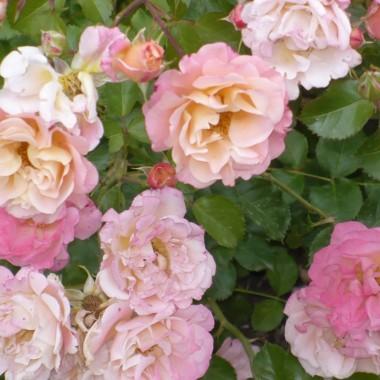 ...............i róże................
