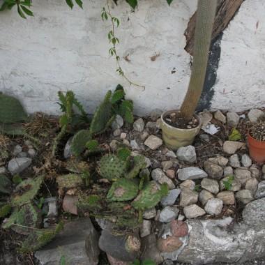 a tu kaktusy ...opuncja...