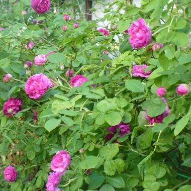 ...................i róże..................