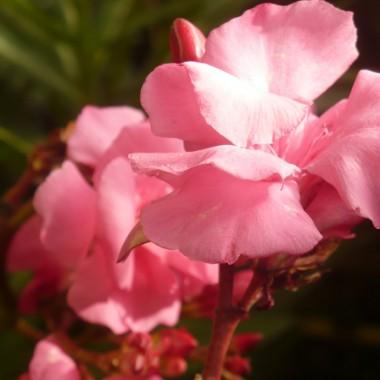 ..................oleandry w pełni kwitnienia................
