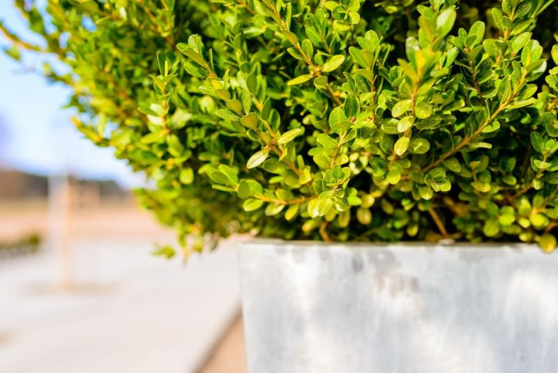 Żywopłot z bukszpanu - sadzenie, rozstaw, pielęgnacja, przycinanie