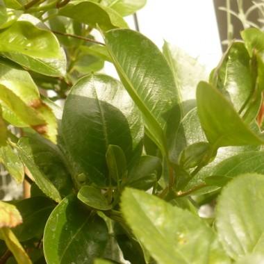 ................i błyszcząca zieleń liści................