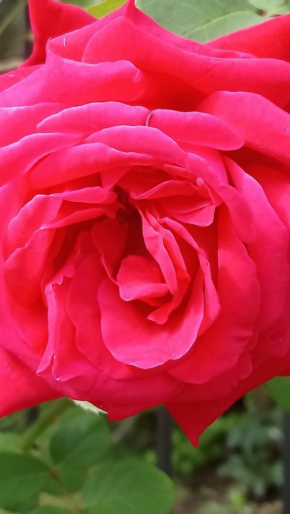 Rośliny, Czerwcowe róże ................. - ................i najpiękniejsza................