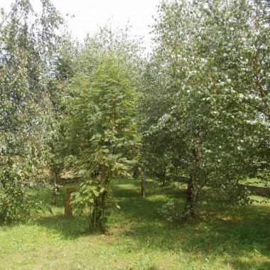 Osobisty brzozowy las i nie tylko
