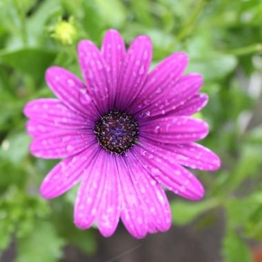 Jaśminowce czarują nie tylko swoim kwieciem ale przede wszystkim zapachem, do tego róże że nie chce się wychodzić z ogrodu....
