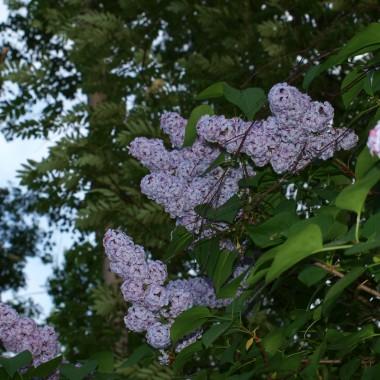 Majówkowe,  jeszcze wiosenne widoki...kwitną wciąż bzy, jarzębiny, akacje, głóg, kasztany... czas  matur...