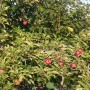 Pozostałe, Galeria jesienna.................październikowa............. - ................i jabłuszka na jabłoni....................