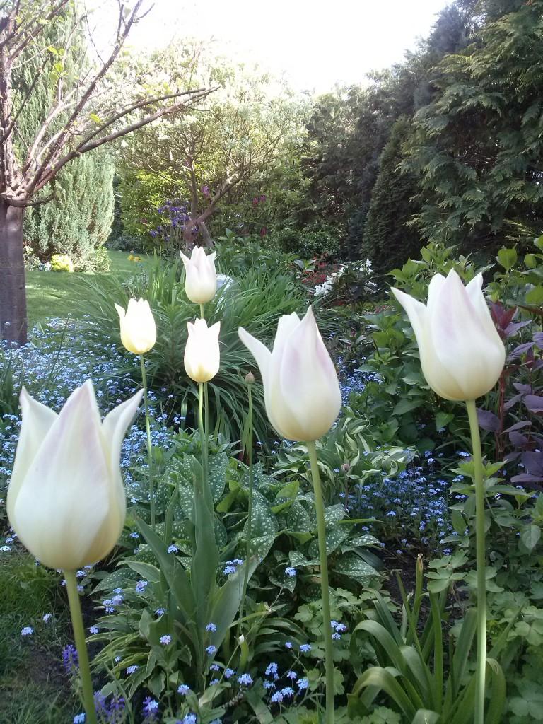Pozostałe, Wiosna - kolejna odsłona... - ostatnie tulipany...