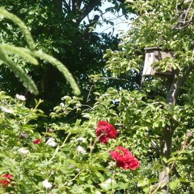 .........i róże w ogrodzie............