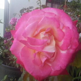 Panna rozanna