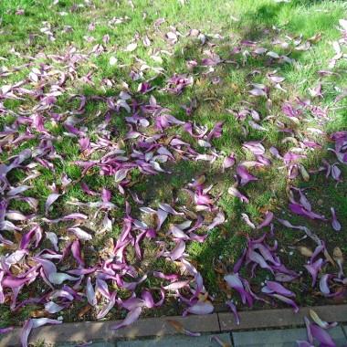 ................i płatki magnolii..............