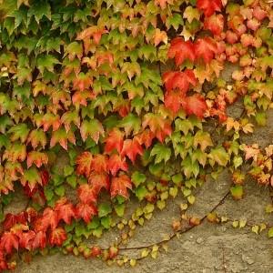 bluszcz na garażu - pierwsze ślady jesieni