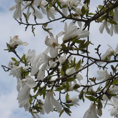 ...............i kwitnąca magnolia...............