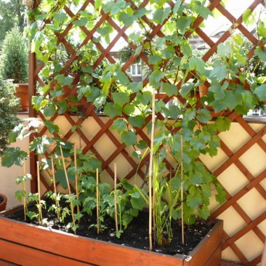 w tle na kratce pnie sie winogrono w tym roku po raz pierwszy wyda owoce :) a w doniczce kilka krzaczków pomidorow karlowatych