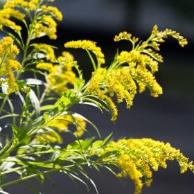 Apteka w ogrodzie: nawłoć pospolita - uprawa i właściwości