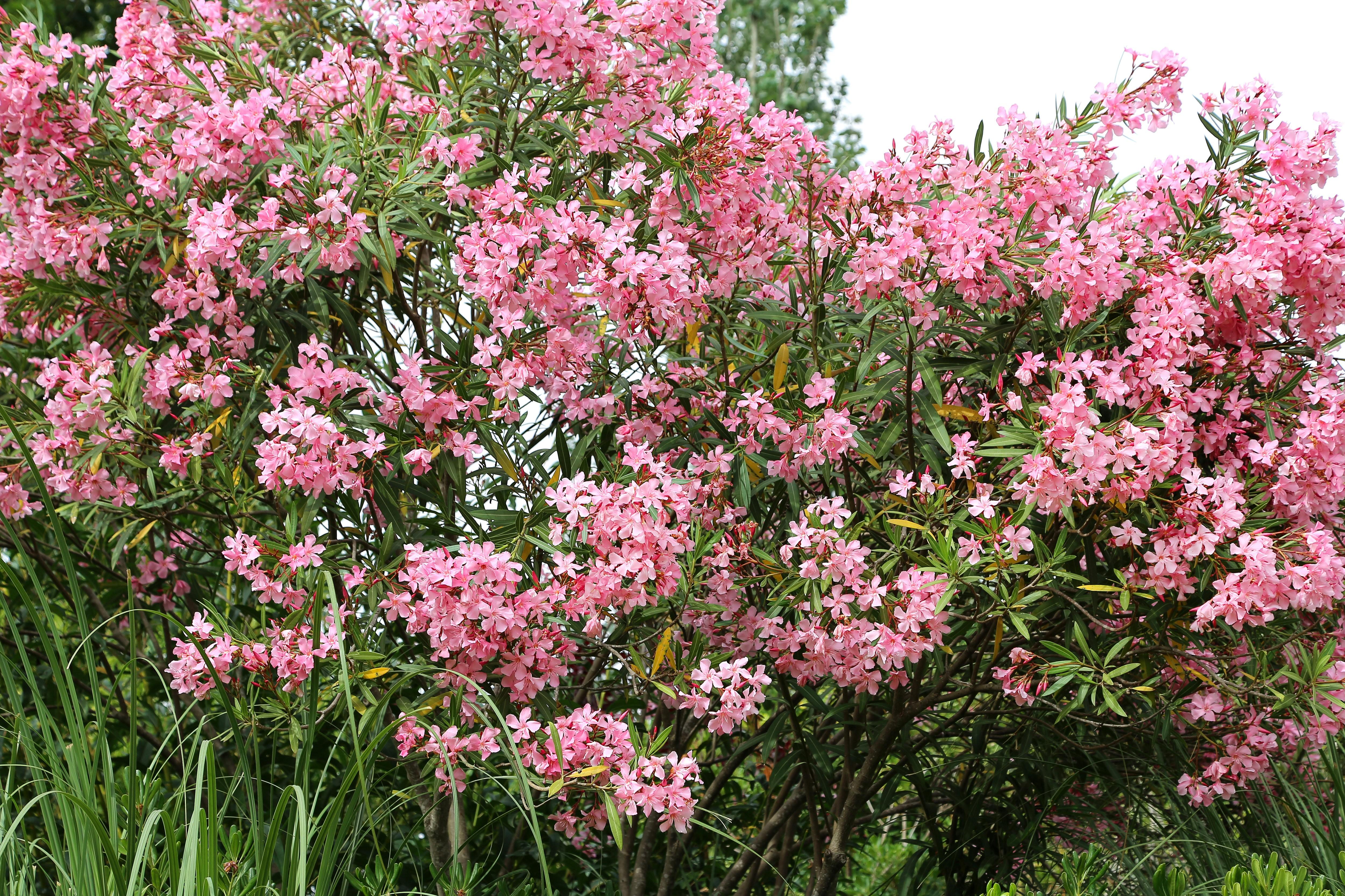 Oleander_różowe kwiaty