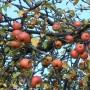Taras, Obfitość jesieni