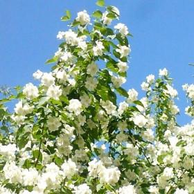 Czerwcowe kwiaty ...........jaśmin...........