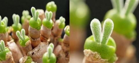 Monilaria obconica - jak pielęgnować najmniejsze sukulenty?