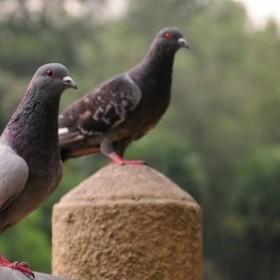 Jak skutecznie odstraszać gołębie?