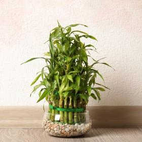 Lucky Bamboo – jak go uprawiać?
