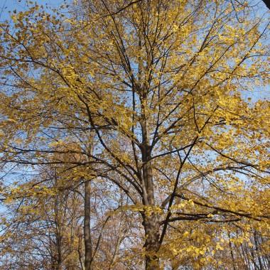 """""""Jesienny żart"""" Klon krwawy i żółta lipaliście, listeczki sypią.Zrzuca je ptak lecący,strąca osa niechcący.Wiatrowi na płacz się zbiera,że liście się poniewiera&#x3B;chodzi dołemi górą i zbiera je oburącz,i płacze nad nimi deszczem,po gałęziach je mokrych wiesza.Nic z tego … Oczywiście.Potem mówią, że wiatr zrywa liście./napisała Kazimiera Iłłakowiczówna/"""