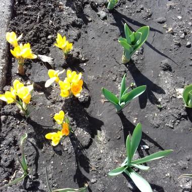 5 Kwiecień to troszkę późny termin na rozpoczęcie prac działkowych i wysiewanie  ale cóż TAKI KLIMAT MAMY  &#x3B;) ....Posiane jest więc tylko czekać na pierwsze plony  &#x3B;)  a czosnek , pomidory,  cukinia   i fasolka szparagowa zarezerwowane miejsce mają ....jeszcze dosadzimy ziemniaczki na poletku za rowem &#x3B;)  ...a tu wspomnienie jak w tamtym zezonie letnim zaczęłam amatorskie ogrodnictwo  &#x3B;) radość z własnych plonów BEZCENNA  &#x3B;))http://deccoria.pl/galeria,id,133881,1,wiosenne-grzadki-z-nadstawki-paletowej.html.......pozdrawiam Krysia