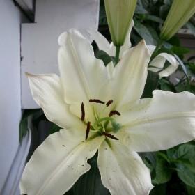 Balkon - kwitnące lilie begonie , itp - wreście  zakwitły