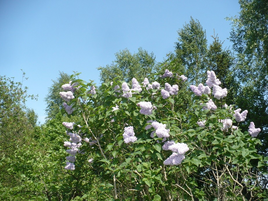 Pozostałe, Maj w moim lasku.................. - .............i kwitnący bez.................