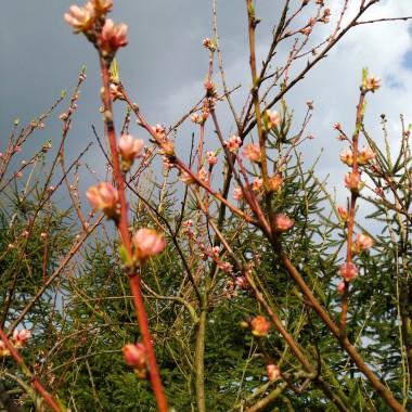 brzoskwinia powoli kwitnie