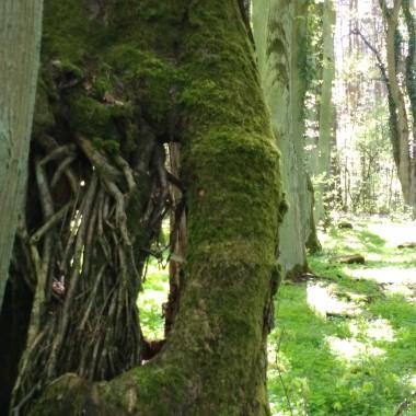 Zjawiskowe drzewo na okolicznym cmentarzu