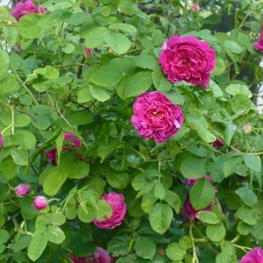 ................i róże w ogrodzie................
