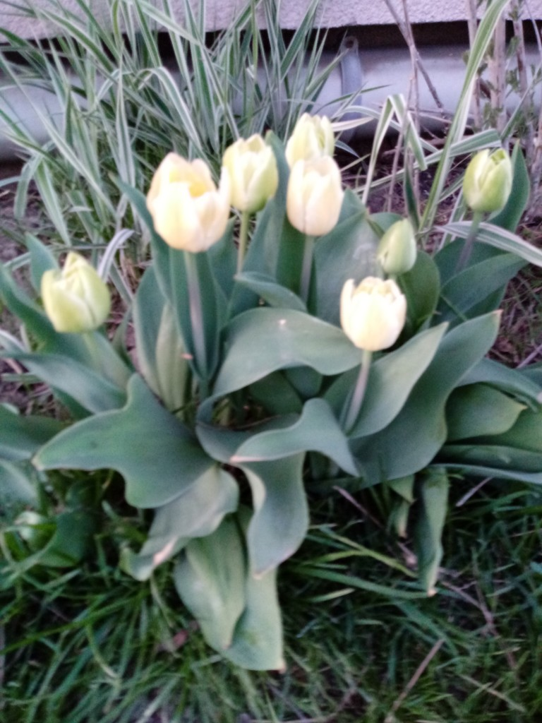 Kiedy znów zakwitną tulipany?