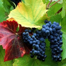 Winogrona w mojej kuchni ........