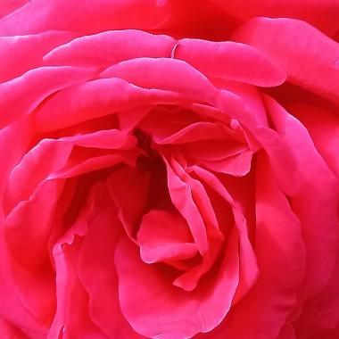 ................i róża...............królowa ogrodu.............